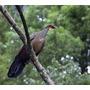 Lamina De Fauna - Aves Del Uruguay - Pava De Monte