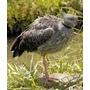 Lamina De Fauna - Aves Del Uruguay - Chaja