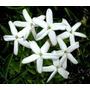 Jazmín Del País- Floral,perfumado- Arbusto,trepadora Perenne