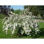 Corona De Novia- Arbusto Flores Perfumadas- Trepadora-cercos