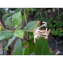 Jazmín Del Uruguay, Palo Cruz- Árbol Nativo Floral,perfumado