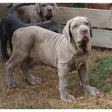 Cachorros Mastin Napolitano. Bulldog Ingles Y Basset Hound