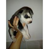 Cachorra Siberiana Husky Manto Negro Ojos Azules
