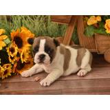 Bulldog Frances Hembra