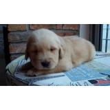 Vendo Cachorros Golden Retriever
