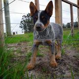 Cachorros Australian Cattle Dog