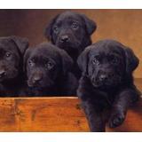 Labradores Retriever Excelente Genetica Prontos Pra Entregar