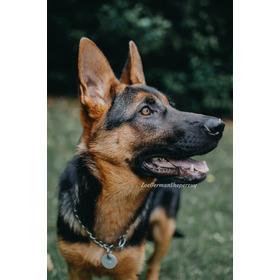 Cachorros Pastor Alemán Nacen Para Octubre Ya Se Están Señan