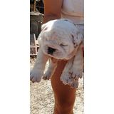 Bulldog Inglés Hembritas  Inscriptas Kcu Chip De Identificac