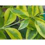 Ligustrina Hoja Verde Y Blanca, Verde Y Oro- Arbusto, Cerco