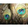 Plumas De Pavo Real De Todos Los Tamaños: De 80 Cm A 120 Cm