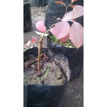 Planta De Arandanos Arandano Blueberry Frutal