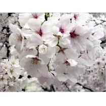 Sakura ( Cerezo Japones) Arbol Ornamental $ 490