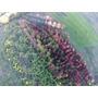 Árbol De Liquidambar De 2 M. Vivero Plantas Césped Palmeras