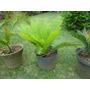Palmeras Cyca Revoluta O Japonesas Para Decorar Jardines