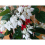 Aljaba,clerodendro,gota Lacre-arbusto,enredadera-flor-rápido