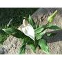 Planta De Espatifilo Espatifilus O Cala Blanca De Interior