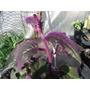 Plantas Ginura, Con Vello Color Violaceo Maceta Colgante