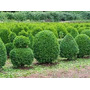 Arbusto Hornamental Boj - Ideal Para Dar Formas 35 X 35 Cms