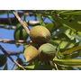 Mataojo-árbol Nativo,flores Perfumadas,frutos Decorativos