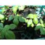 Albahaca Albaca Planta Aromatica