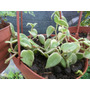 Planta De Peperomia Colgante
