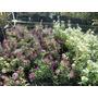 Plantas De Aliso Alisum Floral Rastrero Hermoso Perfume