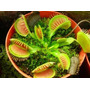Plantas Carnivoras - Venus Atrapamosca En Promocion
