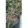 Planta De Efedra Medicinal