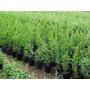 Planta Pino Cipres Ideal Cercos Vivos Casas Jardin Macetas