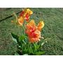 Planta Achira Hermosa Flor Ideal Decoracion Jardines Casas