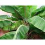 Bananeros Como Planta De Exterior O Interior. Hermosos!!!