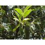Cambara Planta Medicinal