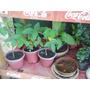 Plantines De Ceibo Y Ombu Ideal Bonsai
