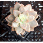 Cactus Malvin Original - En Maceta De 5cm - Souvenirs Tunas