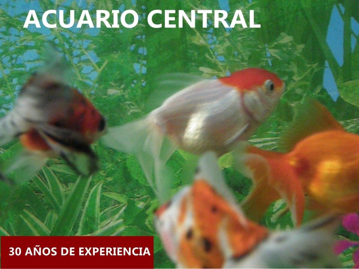 Venta de peces de agua fr a carassius criadero rosario for Peces de agua fria carassius