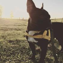 Bulldog Frances Con Pedigree Para Monta Busca Novia