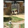 Cachorra Basset Hound (hush Puppy)