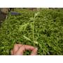 Plantines De Tomate
